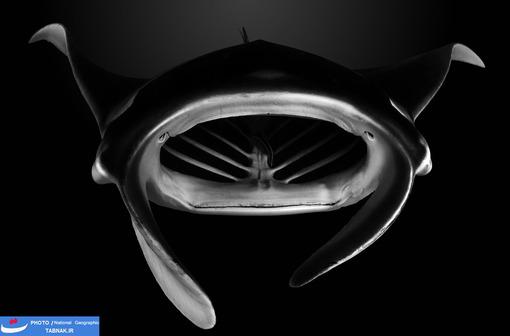 مانتا-آرت ؛ توآموتو آرچیپلاگو؛ پلینزی فرانسه؛ عکاس: Vincent Truchet شرح عکس: «Alfredi manta ray» (نام یک سفره دریایی ساکن در اقیانوس اطلس و پاسیفیک) نزدیک من آمد و با دهان باز خود محدوده خاموش مرکز جزیره تیکهآو را تصفیه می کند.