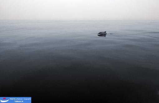 گاردین؛ عکاس: Robin Benson شرح عکس: این دلفین به تنهایی نمی تواند زیبا به نظر برسد وقتی هنوز از آب خارج نشده است. محل سکونت: جزایر کانال؛ کالیفرنیا