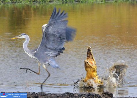 نزدیک به تصادم: ماسایی مارا؛ کنیا؛ عکاس: Leslie Anderson شرح عکس: ایجاد یک موقعیت مخاطره آمیز توسط کروکودیل نیل برای صید حواصیل خاکستری!