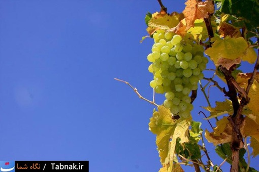 انگور؛ مهمترین محصول ملایر