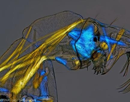 تصویر لاروی پشه فانتوم موسوم به کرم شیشهای، برنده جایزه هفتمی