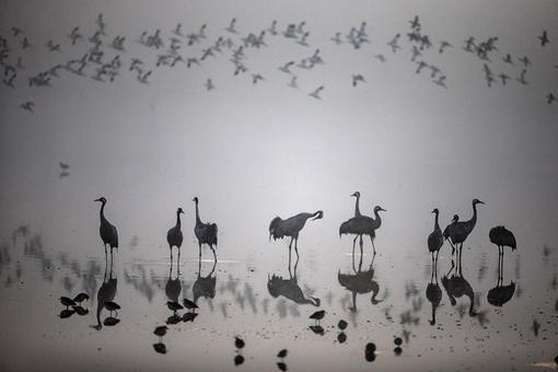 شرایط عالی آب و هوایی دریاچه حولا واقع در شمال(فلسطین اشغالی)موجب شده صدها گونه پرنده به این منطقه مهاجرت کنند REUTERS/Nir Elias