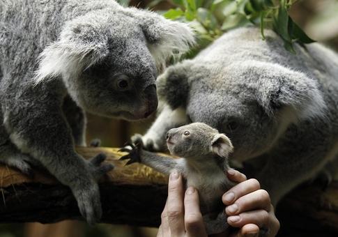 تولد یک کوآلا در باغ وحشی در آلمان؛ هنگامی که توسط یکی از مسئولین باغ وحش، این کوآلای کوچک به مادرش نزدیک می شود بی درنگ دستش را به سمت وی دراز می کند/reuters