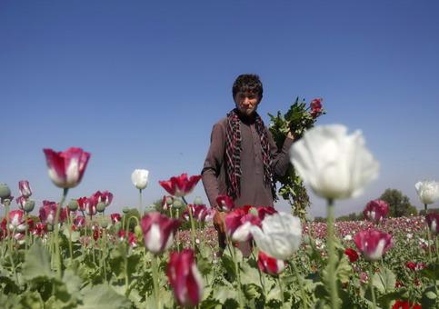 عکس:مرد افغان در حال قدم زدن در مزرعه خشخاشاش در ولایت جلالآباد افغانستان . بنا بر یک گزارش تازه، علیرغم هزینههای میلیارد دلاری ایالات متحده در افغانستان، کشت و برداشت تریاک در این کشور صعودی فزاینده داشته و سال گذشته به بیشترین میزان خود رسیده است/Reuters-RFE/RL