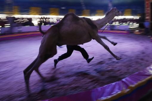 مردی در حال تمرین نمایش شتررانی در سیرک. به نظر می رسد این یکی از آخرین اجراهای سیرک با استفاده از شتر در مکزیکوسیتی باشد. بر اساس قانون جدید دولت محلی استفاده از حیواناتی همچون اسب و شتر در برنامه های سیرک ممنوع خواهد بود./Reuters