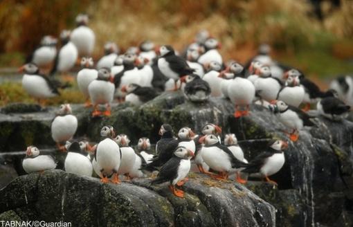 پافین پرنده دریایی کوچکی است که در سرزمینهای سرد شمالی اقیانوس آرام و اطلس زندگی میکند.تصاویر گروهی از آنان را در استکالند مشاهده می کنید.