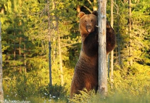خرس قهوه ای اروپایی در فنلاند