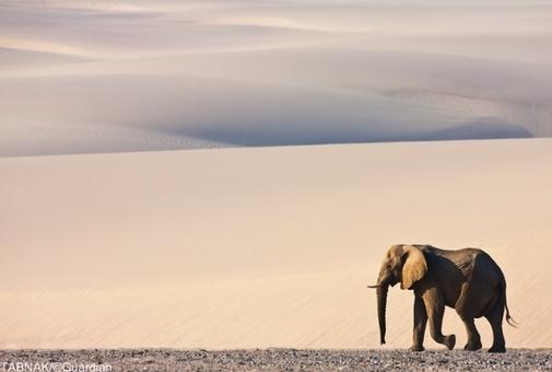 فیل نر در حال پیاده روی بر روی شنهای داغ نامیبیا - این عکس منتخب دریافت جایزه ویژه در این ماه شده است.