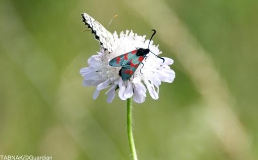 پروانه مرمری بسیار نادر در انگلستان