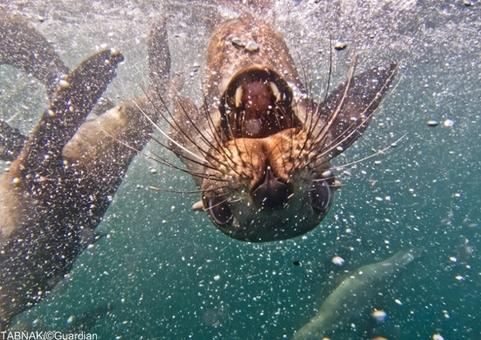تصویر بی نظیر از یک فوک هنگام شیرجه زدن و دمر شدن در جزیره فالکلند