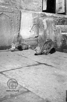 [11860- 3ع]<br /> دو قلاده پلنگ در قل و زنجیر باغ وحش سلطنتی قاجار