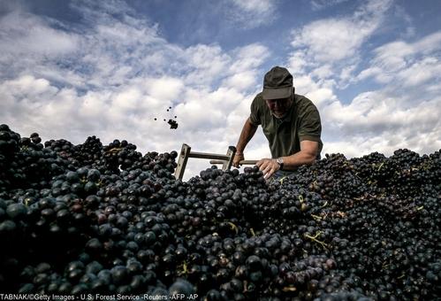 مزارع انگور و برداشت پاییزی این محصول در شرق فرانسه