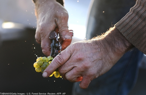 چیدن خوشه های انگور در تاکستانی واقع در نانت - غرب فرانسه