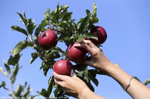 برداشت سیب در ابتدای پاییز مزرعه ای در فرانسه