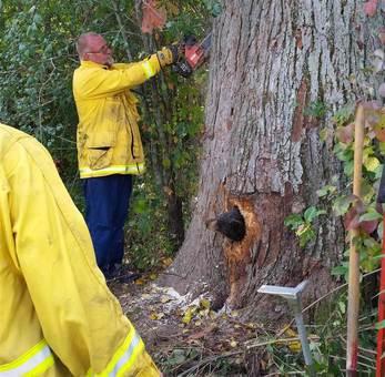 توله خرس بازیگوش در ویسکانسین هنگام شیطنت سرش در سوراخ تنه درختی گیر کرده است./wisconsin dnr via kare