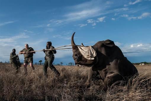 جابجایی کرگدن نژاد سفید عظیمالجثه در پارک ملی کروگر در آفریقای جنوبی برای انتقال به محلی امن از دست شکارچیان./ afp - getty images