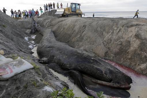دفن نهنگ به گل نشسته در ساحل ریواس در نیکاراگوئه توسط عوامل شهرداری./afp