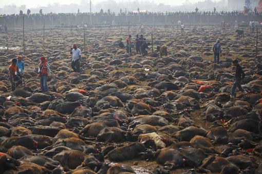 رسانههای خبری از شروع قتل عام صدها هزار راس حیوان در کشور نپال خبر دادند. پیش از شروع مراسم، دهها هزار هندو برای انجام عبادت در معبدی در این کشور حضور پیدا کردند. در طی این مراسم سنتی، بیش از ۲۰۰، ۰۰۰ بوفالو، بز، مرغ و کبوتر ظرف مدت دو روز قربانی میشوند. این مراسم مذهبی، هر ۵ سال یک بار و برای ادای احترام به یکی از خدایگان هندو با نام «گادهیمای» برگزار میشود. آخرین بار این مراسم در سال۲۰۰۹ برگزار گردید و همواره سازمانهای مدافع حقوق حیوانات این اقدام را وحشیانه خوانده و از آن ابراز انزجار نمودهاند. /REUTERS<br />