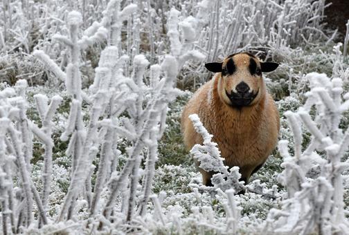 یک گوسفند با مزه در میان گیاهان پوشیده از یخ در شمال شرق فرانکفورت مشغول چرا کردن است. دمای هوا در این منطقه به یک درجه زیر صفر رسیده است. (AP)