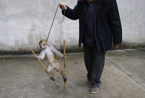 رفتار مربی یک میمون نگون بخت با این حیوان زبان بسته برای تمرین قبل از انجام حرکات نمایشی در سیرک سوژو، استان آنهویی، چین./REUTERS