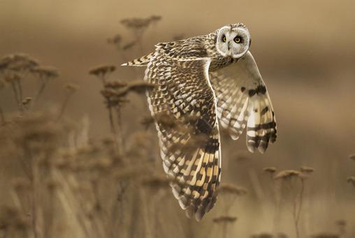 برنده لوح تقدیر بخش طبیعت. پرواز جغد گوش کوتاه موسوم به