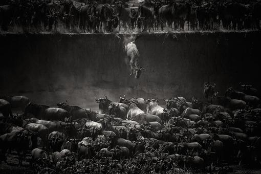 برنده جایزه ویژه بخش طبیعت. عنوان عکس: مهاجرت بزرگ. عکاس:   Nicole Cambre