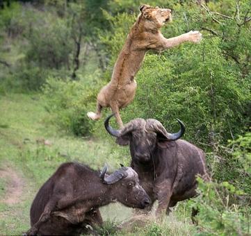 نبرد بین یک شیر گرسنه و بوفالو در آفریقای جنوبی