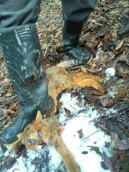 کشتار بیرحمانه گربه جنگلی در لاهیجان به جرم دزدی مرغ