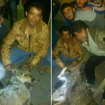 کشتار گرگ توسط اهالی لوشان