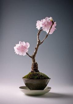 درخت گیلاس چینی