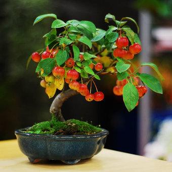 درخت سیب با میوههای مینیاتوری