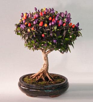 درخت چیلی