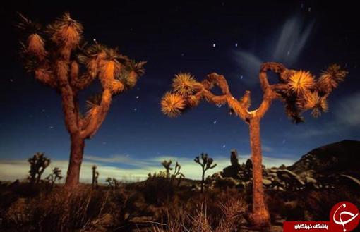 درختان جوشا ،كاليفرنيا