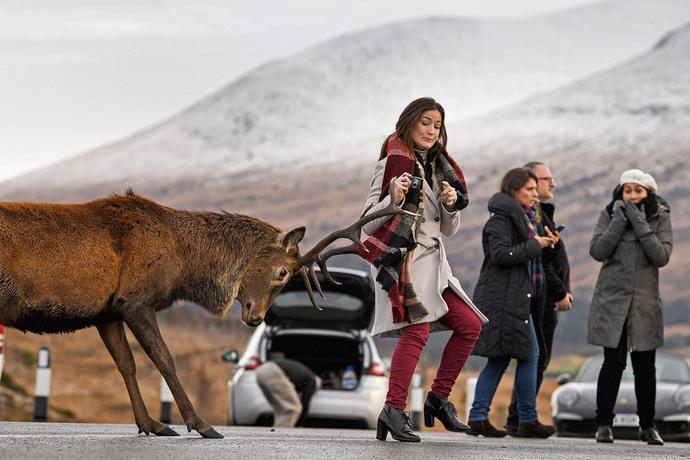 عکاسی گردشگران از گوزن قرمز در اسکاتلند