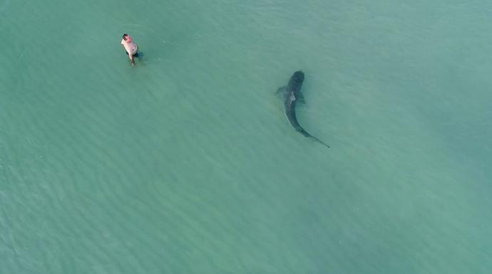 حضور مردی در دریا در سواحل میامی فلوریدا؛در چند قدمی وی یک کوسه دیده می شود؛این تصویر را یک هواپیمای بدون سرنشین گرفته است.