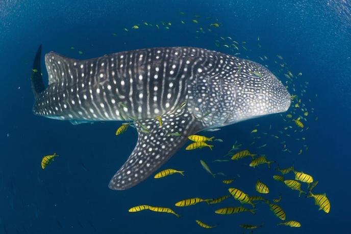 شنا با کوسههای خلیج فارس