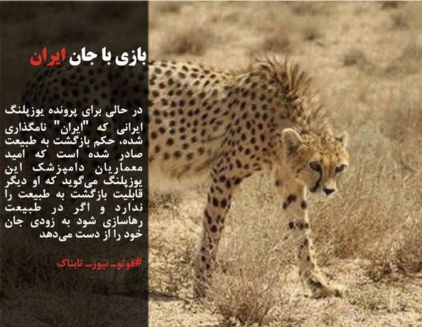 در حالی برای پرونده یوزپلنگ ایرانی که