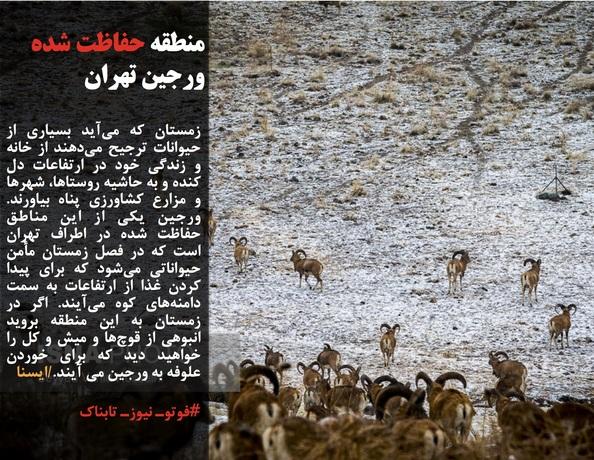 زمستان که میآید بسیاری از حیوانات ترجیح میدهند از خانه و زندگی خود در ارتفاعات دل کنده و به حاشیه روستاها، شهرها و مزارع کشاورزی پناه بیاورند. ورجین یکی از این مناطق حفاظت شده در اطراف تهران است که در فصل زمستان مأمن حیواناتی میشود که برای پیدا کردن غذا از ارتفاعات به سمت دامنههای کوه میآیند. اگر در زمستان به این منطقه بروید انبوهی از قوچها و میش و کل را خواهید دید که برای خوردن علوفه به ورجین می آیند./ایسنا