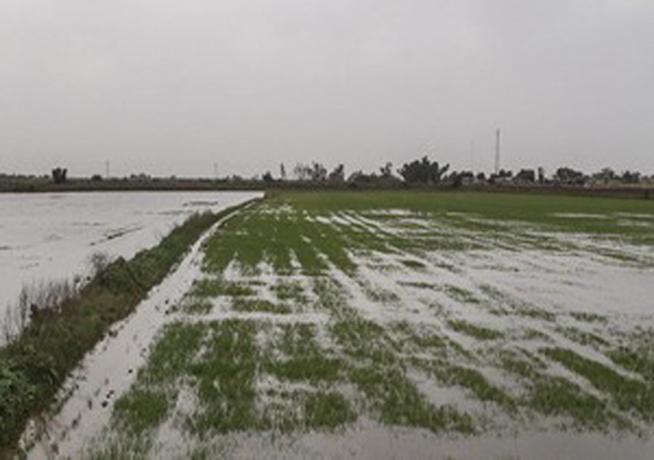 بر اثر بارشهای شدید طی هفته جاری، دو هزار و ۵۰۰ هکتار از مزارع کشاورزی چهارمحال و بختیاری سیلابی شد
